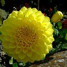 yellow dahlia in the border by Babz Runcie