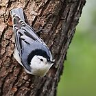White-breasted Nuthatch by Rob Lavoie
