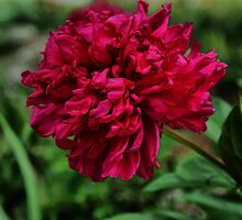 Red Peony by Rick  Friedle