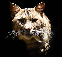 Bobcat by ☼Laughing Bones☾
