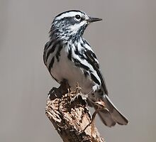 Black-And-White Warbler by DigitallyStill