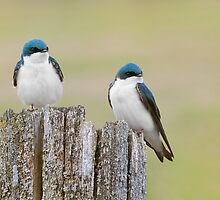 Double trouble Tree Swallows. by Daniel Cadieux