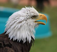 "Bald Eagle - ""Jefferson"" by Alyce Taylor"