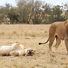 Domestic Bliss. Lions After Copulation, Maasai Mara, Kenya  by Carole-Anne