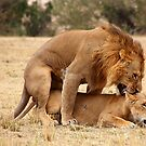 &quot;Nibble, Nibble&quot;.  Lions Copulating, Maasai Mara, Kenya by Carole-Anne