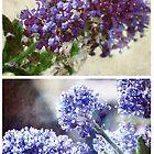 Spring - Ceanothus by Sybille Sterk