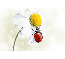 Ladybird on daisy flower Photographic Print