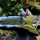Modesty- Cardinal in Bird Bath by FLgirl