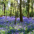 Bluebell Delight by hootonles