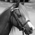 the Welsh gelding by Tammy Kuiler