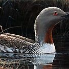 """RED THROATED LOON"" by Robin Edward Thorne Murray,AFC"