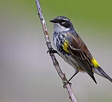 Yellow rumped Warbler by Jim Cumming