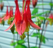 Wild Columbine by Debbie Meyers