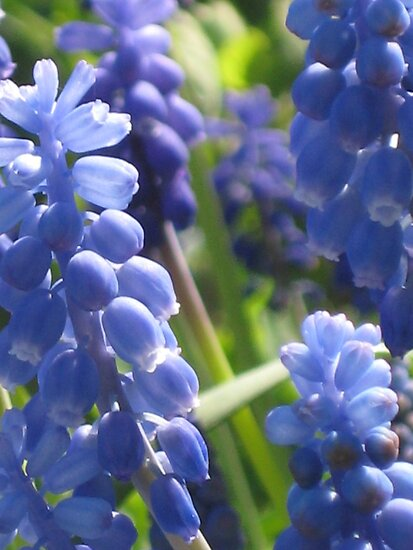 Fresh & Peaceful - Grape Hyacinth by aneyefornature