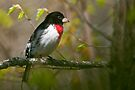 Rose Breasted Grosbeak by Michael Cummings