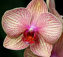 *Pink Striped Orchid* by Darlene Lankford Honeycutt