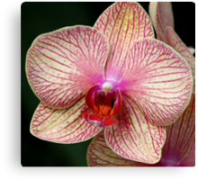 *Pink Striped Orchid* Canvas Print