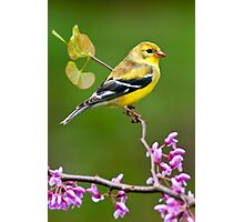American Goldfinch in Spring Season Photographic Print
