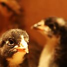 Chicken CSI by Bellavista2