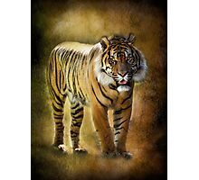 Sumatran Tiger  Photographic Print