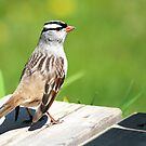 White-crowned sparrow by tanmari