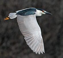 Wings Down / Black Crowned Night Heron by Gary Fairhead