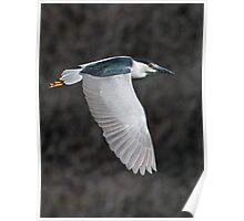 Wings Down / Black Crowned Night Heron Poster