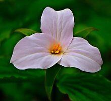 Trillium grandiflorum - Melanthiaceae by jules572
