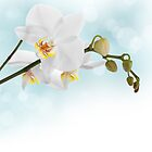 White orchid by Pics4merch