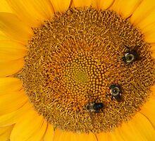 3 Bee Sunflower by Carolyn Chentnik