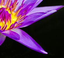 Blue Tropical Water Lily by Platslee