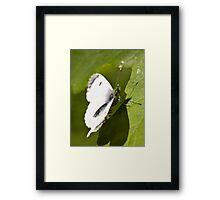 female orange tip butterfly Framed Print