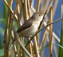 Reed warbler by theriverrat