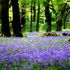 Blue Bells, Blackberry Camp, Devon by MWhitham