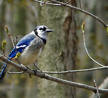 Blue Jay in a tree by Marcia Rubin