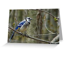 Blue Jay in a tree Greeting Card