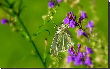 Tropical Nectar! - Cabbage Butterfly! - Southland NZ by AndreaEL