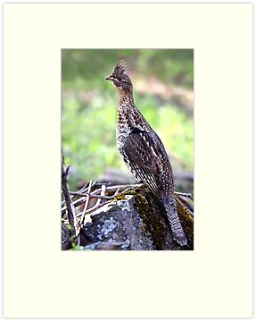 Ruffed Grouse by Jim Cumming