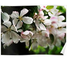 Floating Apple Blossoms Poster