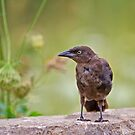 Grackle? by Daniel  Parent
