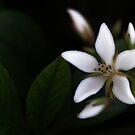 Single Flower by Todd Costigan