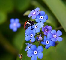 Forget Me Not by missmoneypenny