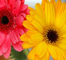 Gerber Daisies ~Pink & Orange by daphsam