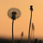 Dandelions at sunset by LisaRoberts