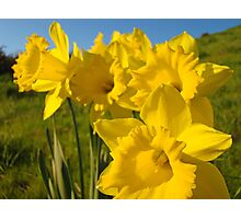 Golden Yellow Daffodil Flower Meadow art Baslee Troutman Photographic Print