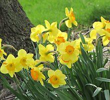 Daffodil Garden by Veronica Schultz
