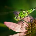 Eastern Pondhawk by Briar Richard