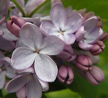 Sweet Lilac by Sharon Woerner