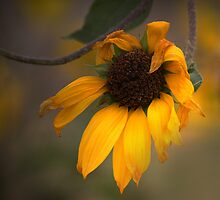 Sunflower by CarolM