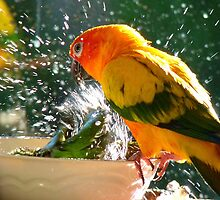 Please Bubbles!!, Let Me Have A Turn...! Sunconure - NZ by AndreaEL